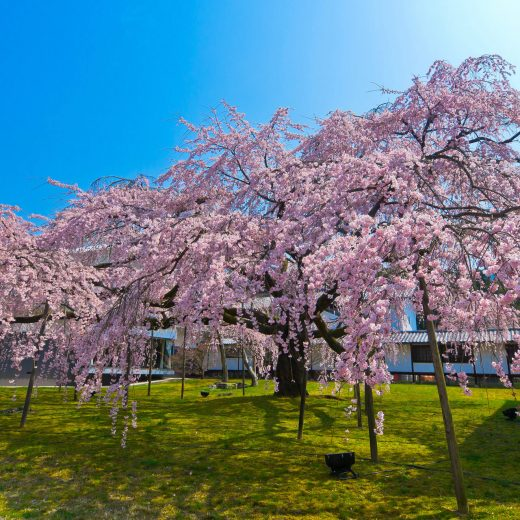2020年!京都最美的櫻花