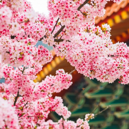 京都 櫻花 3月