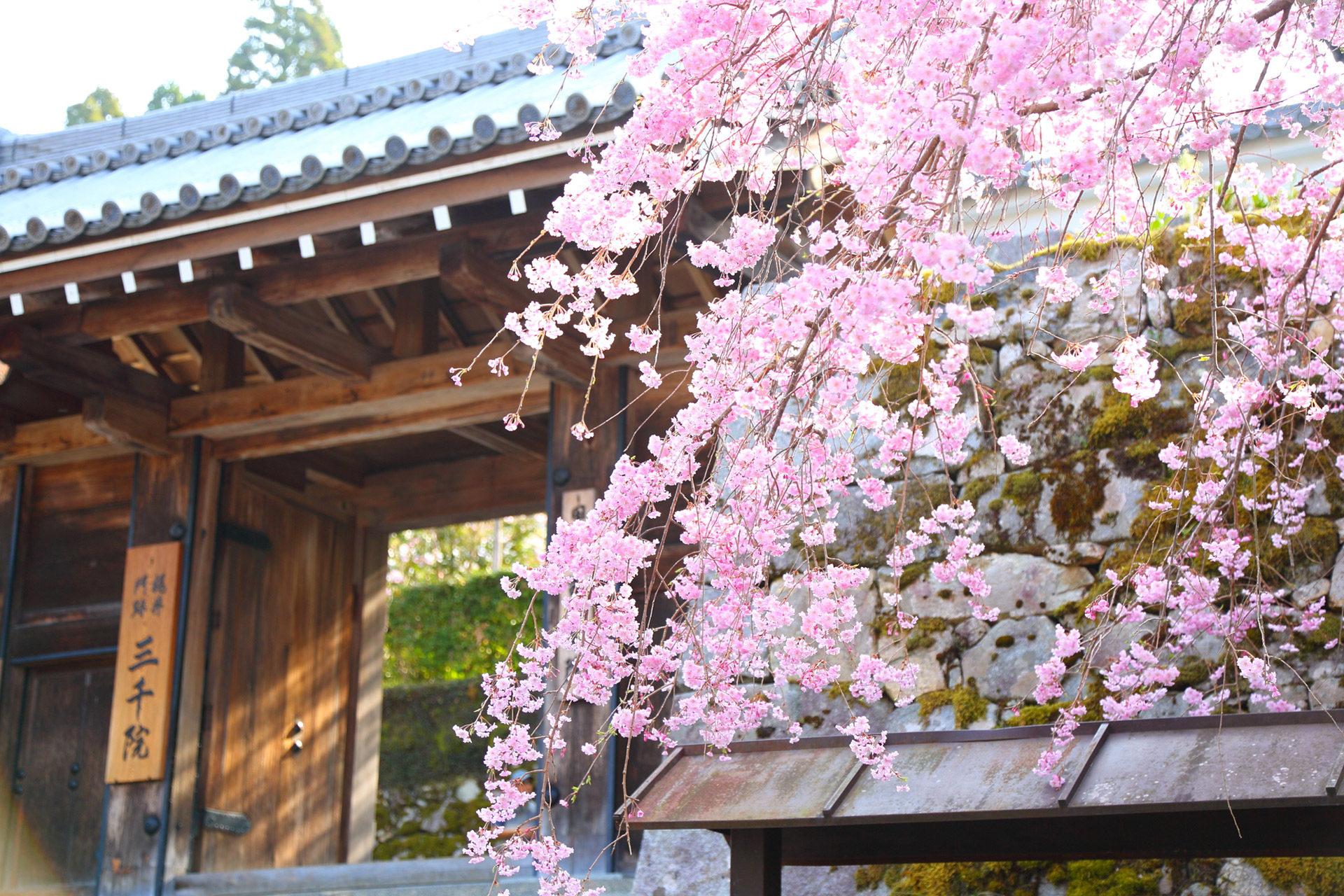 京都最棒的櫻花名勝是