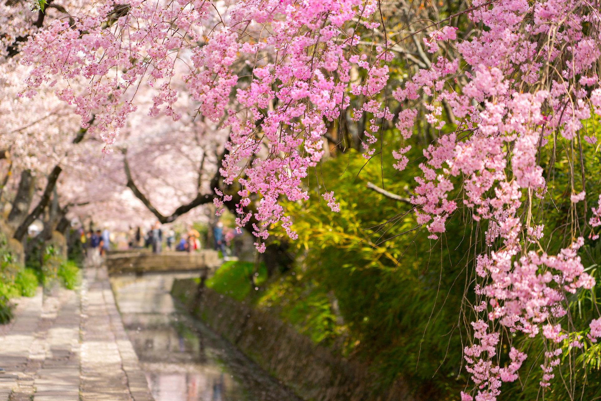 京都 櫻花 到什麼時候