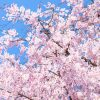京都的櫻花最美