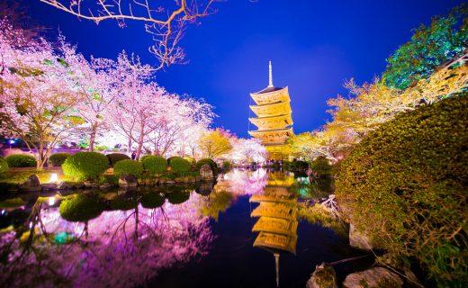 京都 櫻花