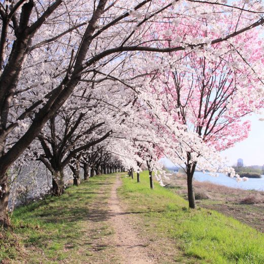 京都 櫻花 樹