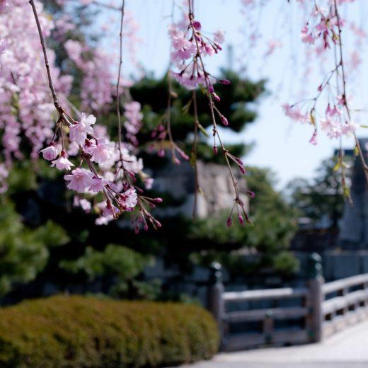 京都 櫻花 二條城