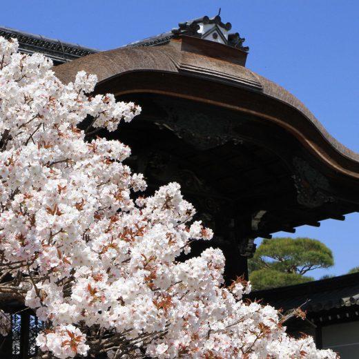 京都 櫻花 仁和寺