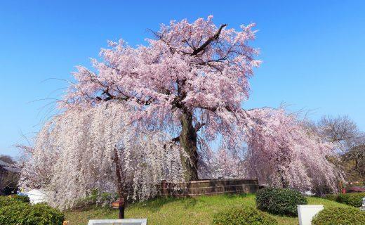 京都 櫻花 公園