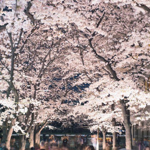 說到京都的春天就是「櫻花」