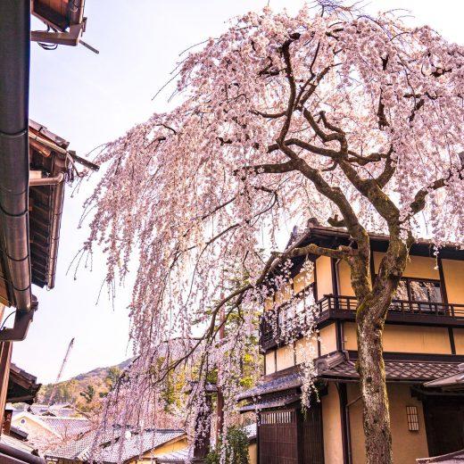 京都 櫻花 照片