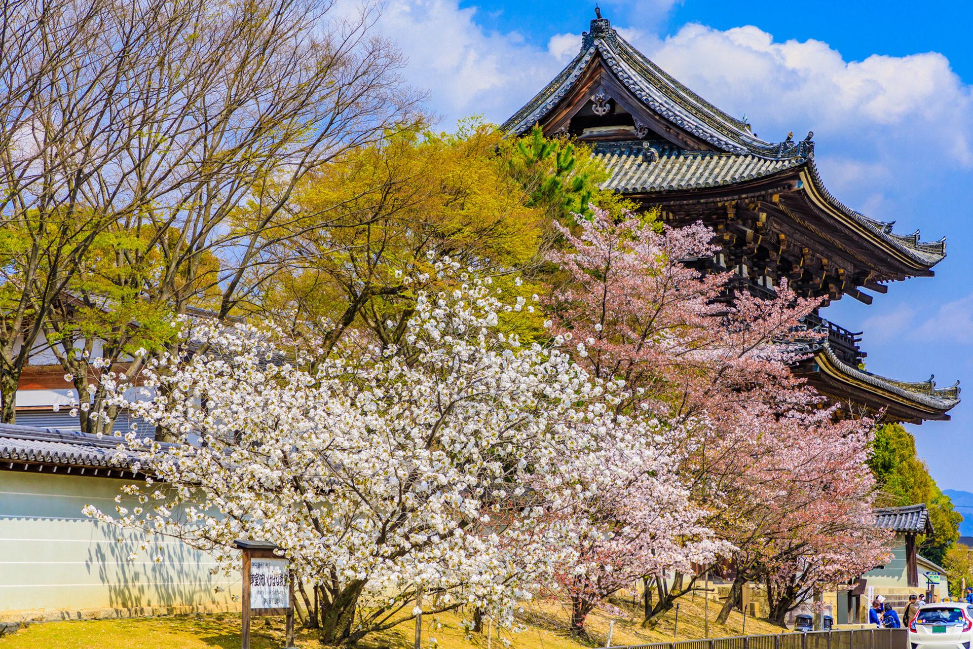 京都 櫻花 攤子