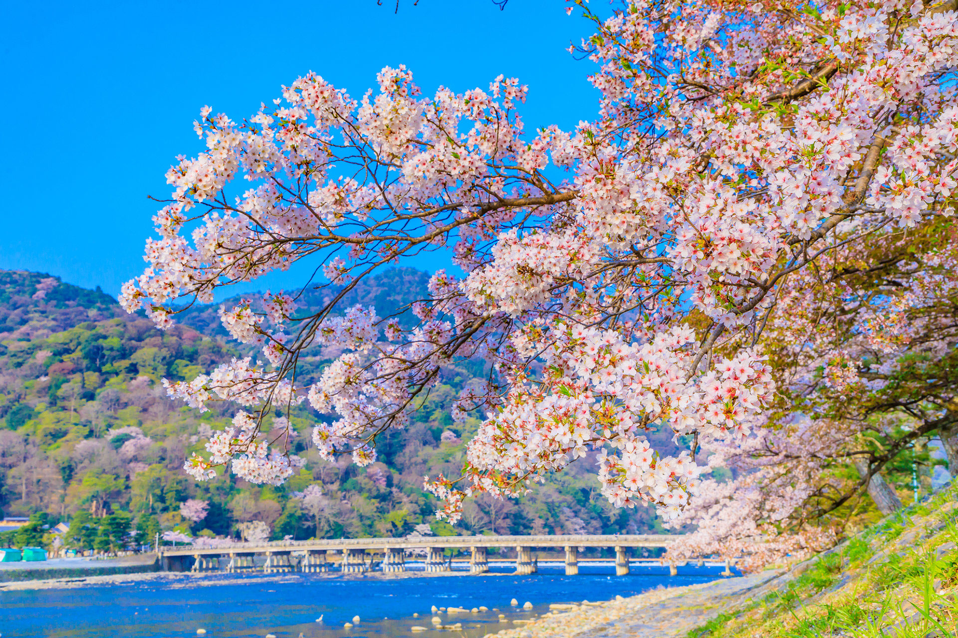 京都  櫻花  嵐山