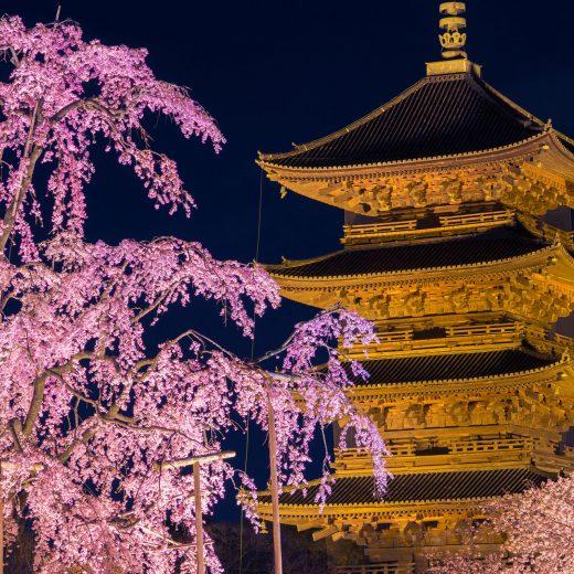 京都 櫻花 東寺