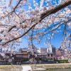 京都 櫻花 盛開