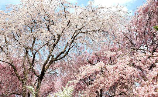京都 櫻花 盛開過去