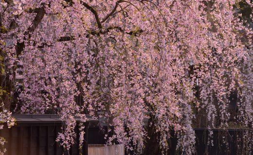京都 櫻花 絕景
