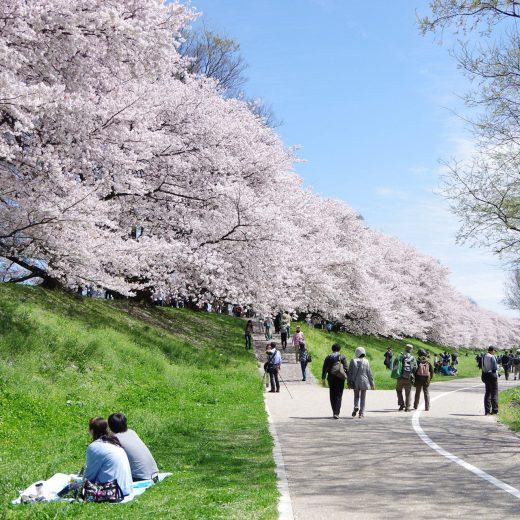 京都 櫻花 背割堤