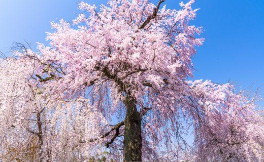 京都 櫻花 賞花
