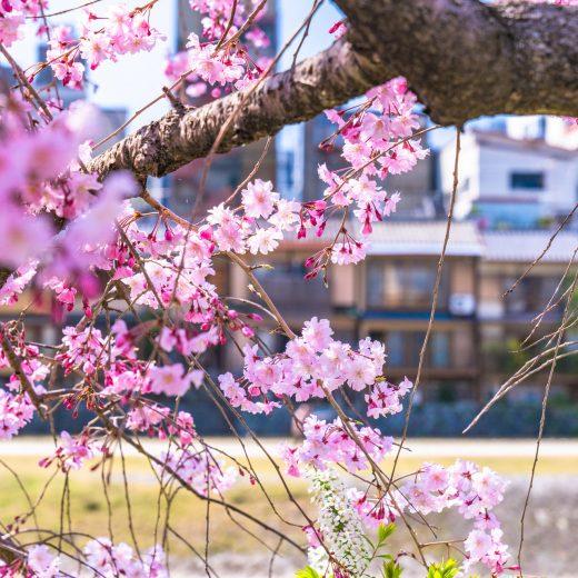京都 櫻花 旅行