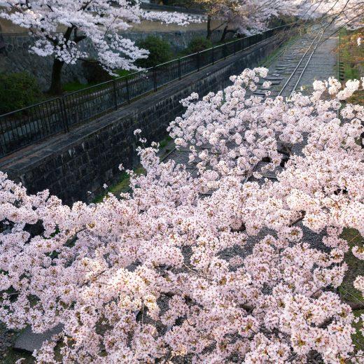 京都 櫻花 開花