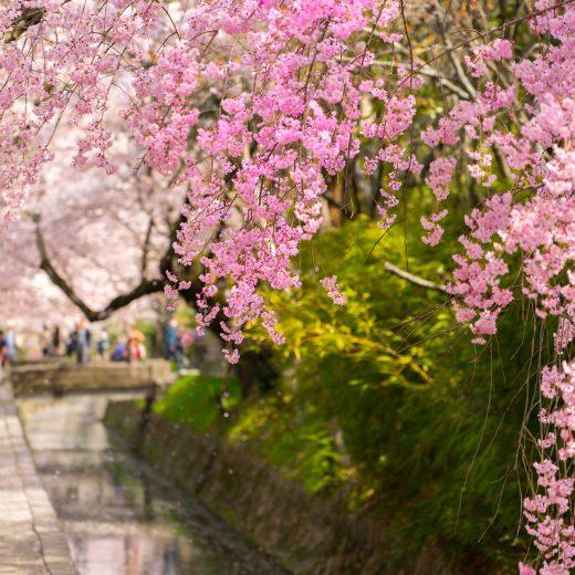 京都 櫻花 約會