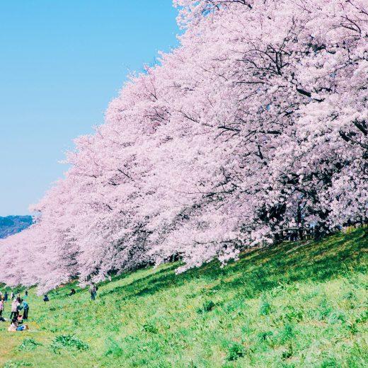 京都 櫻花 野餐