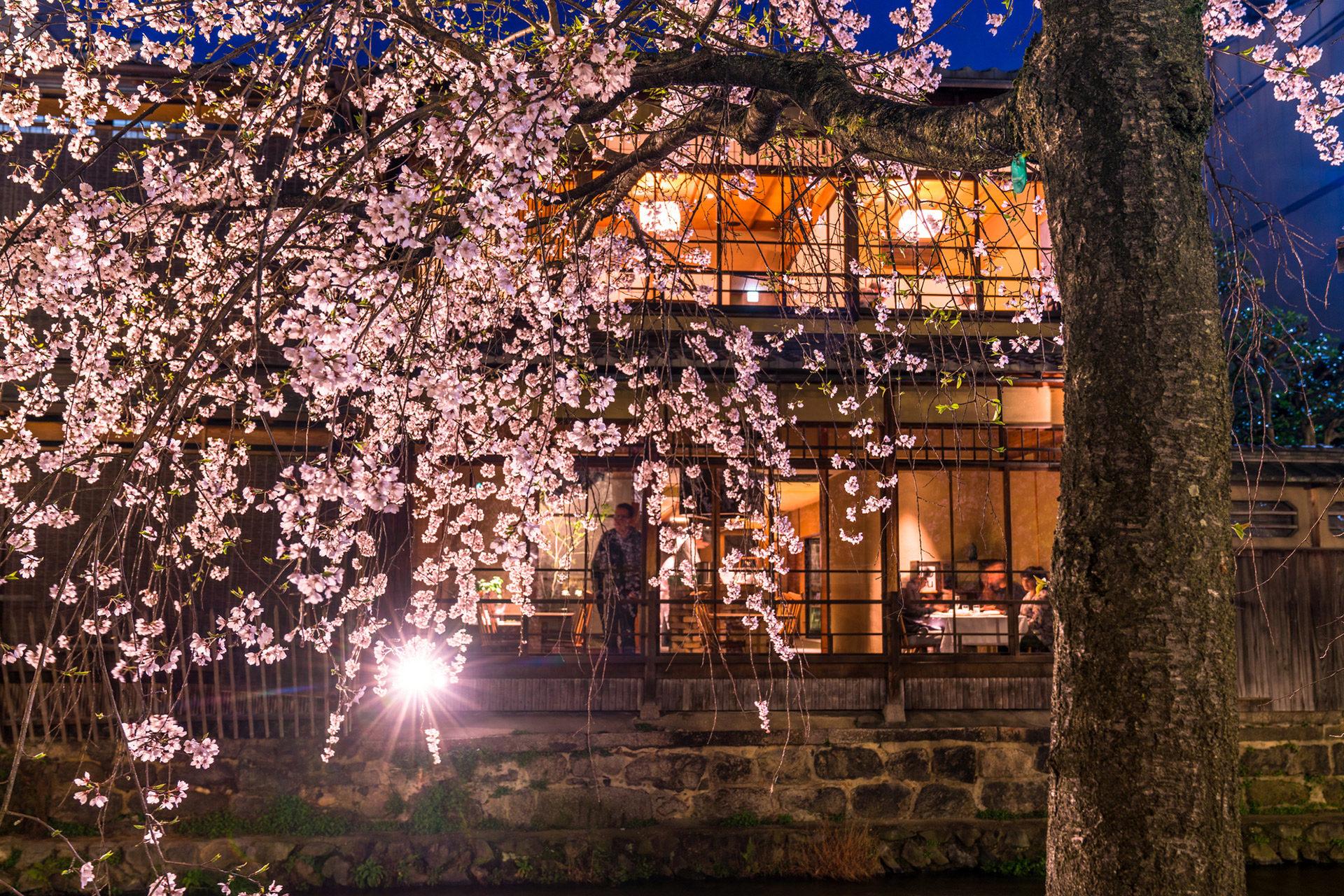 京都  櫻花  夜晚