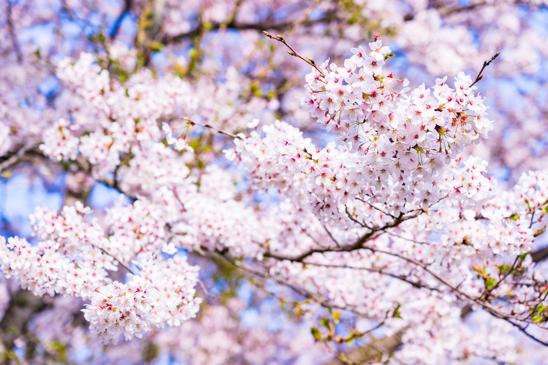 京都  櫻花  盛開時期