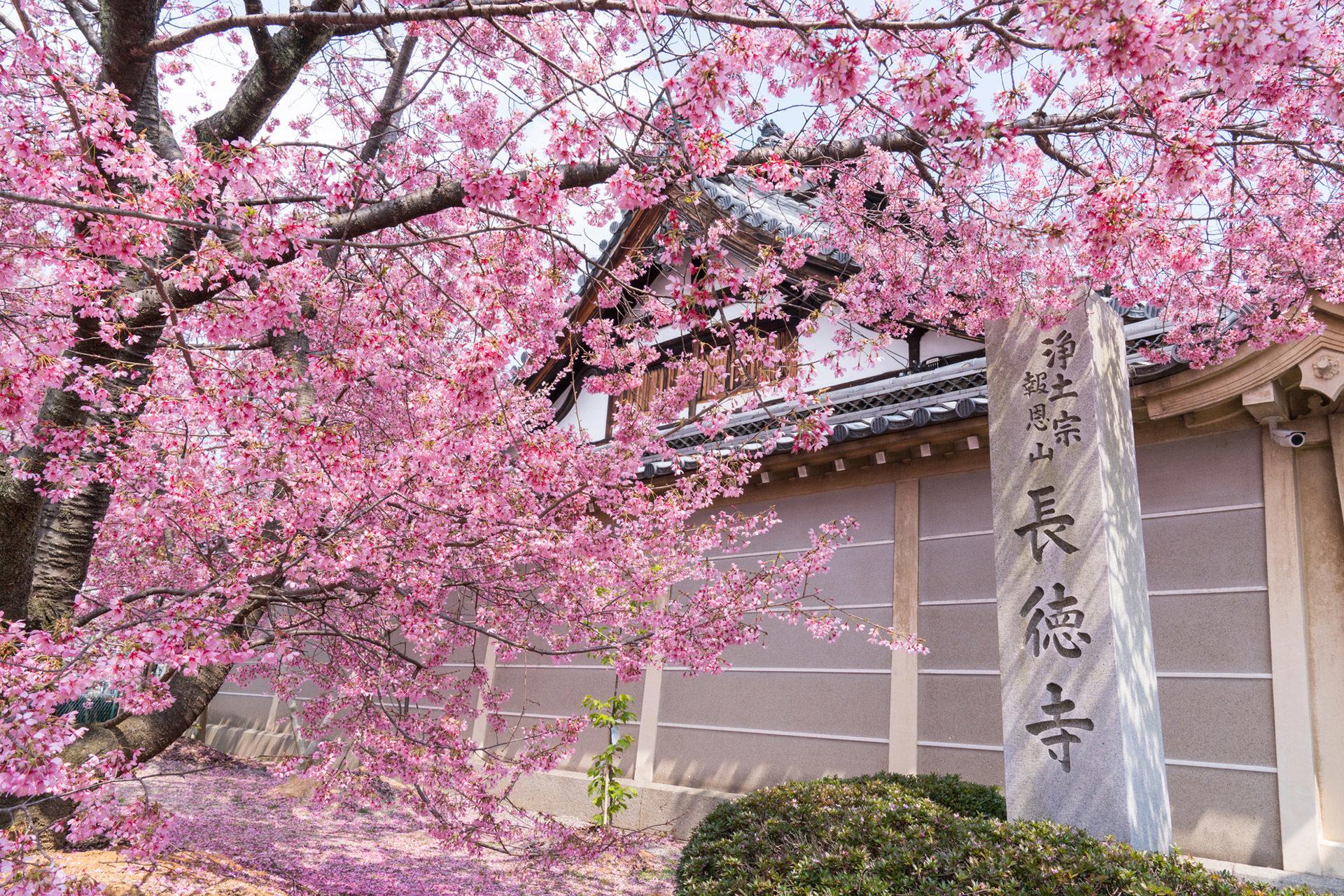京都  櫻花  早開