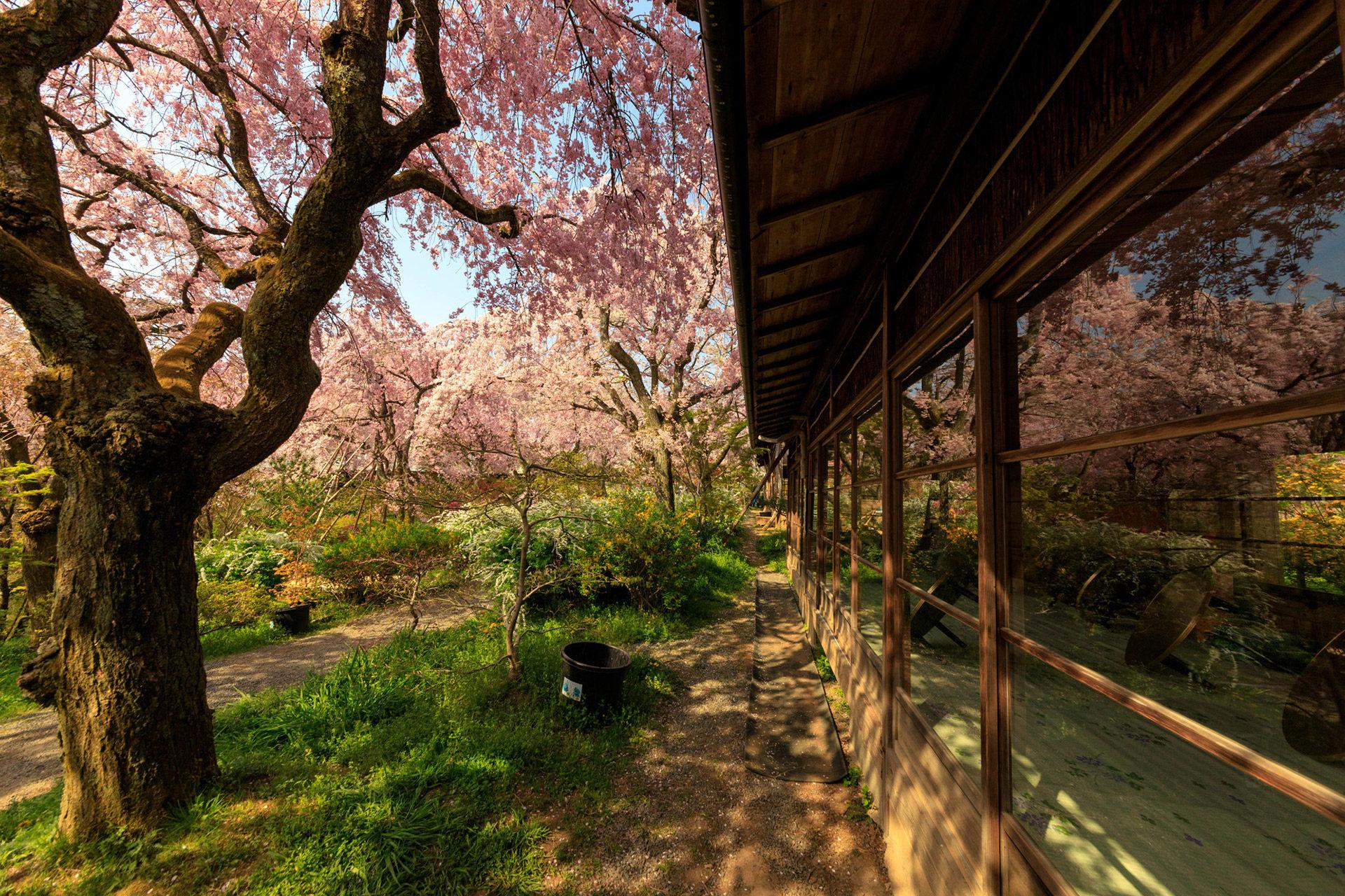京都  櫻花  穴場景點未