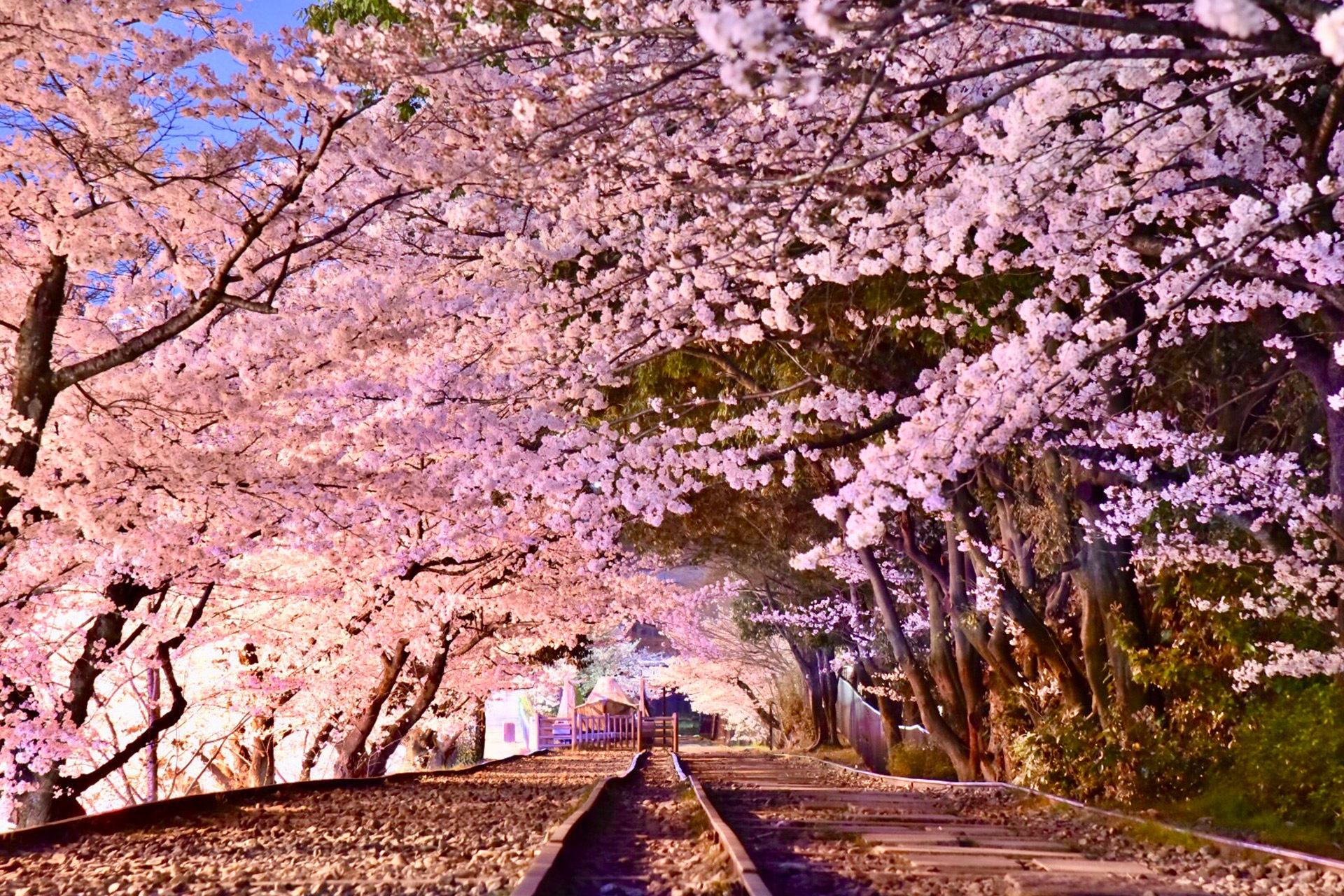 京都  櫻花  穴場