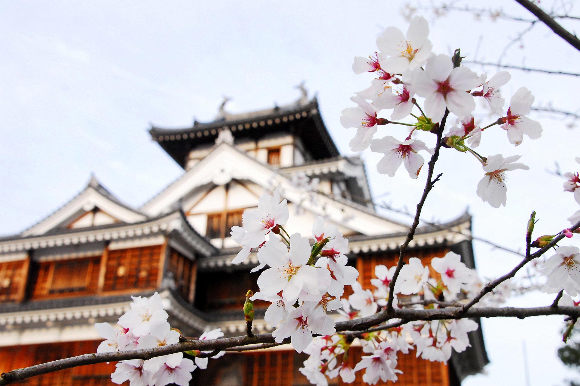 京都  櫻花  櫻花湯