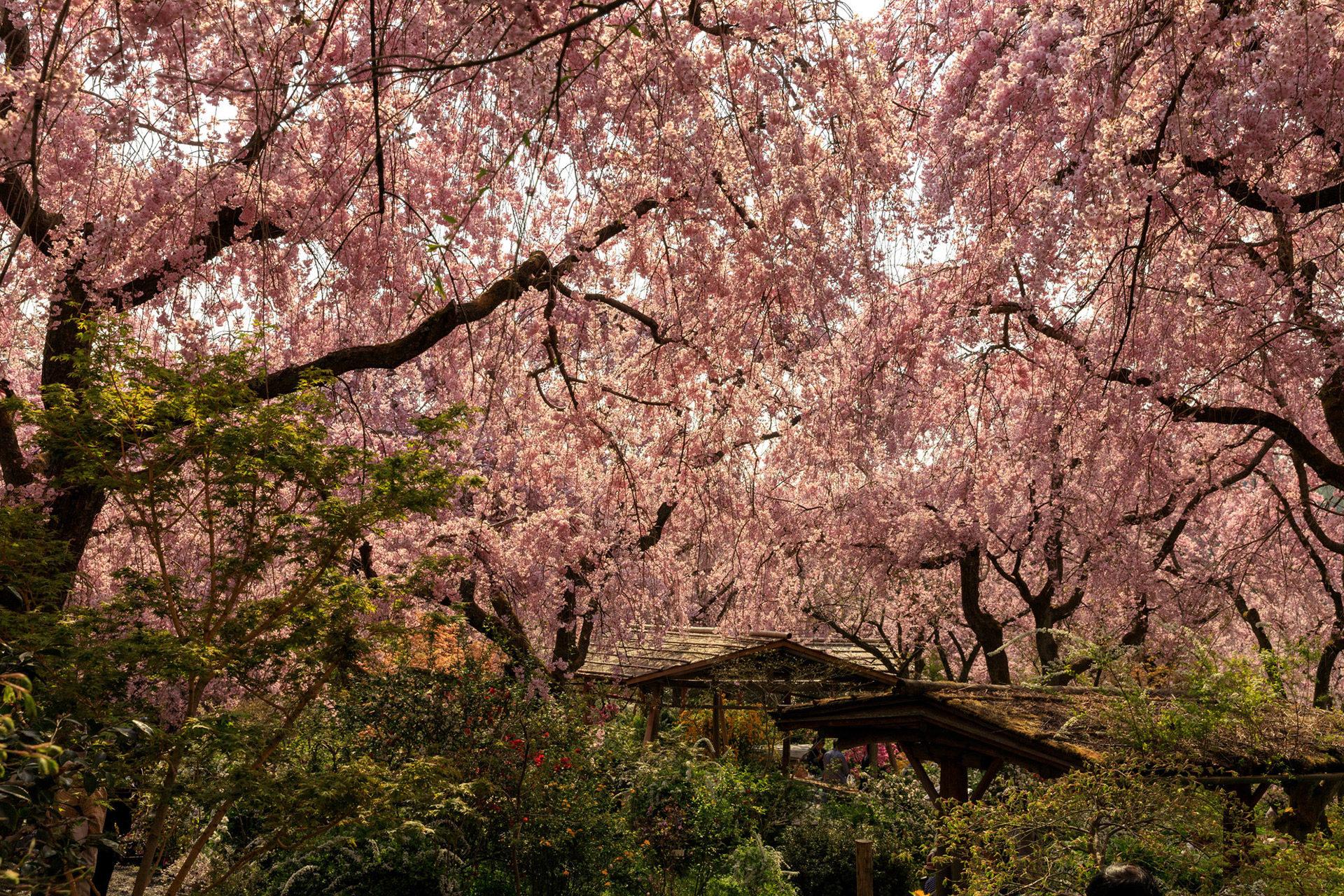 京都  櫻花  原穀苑