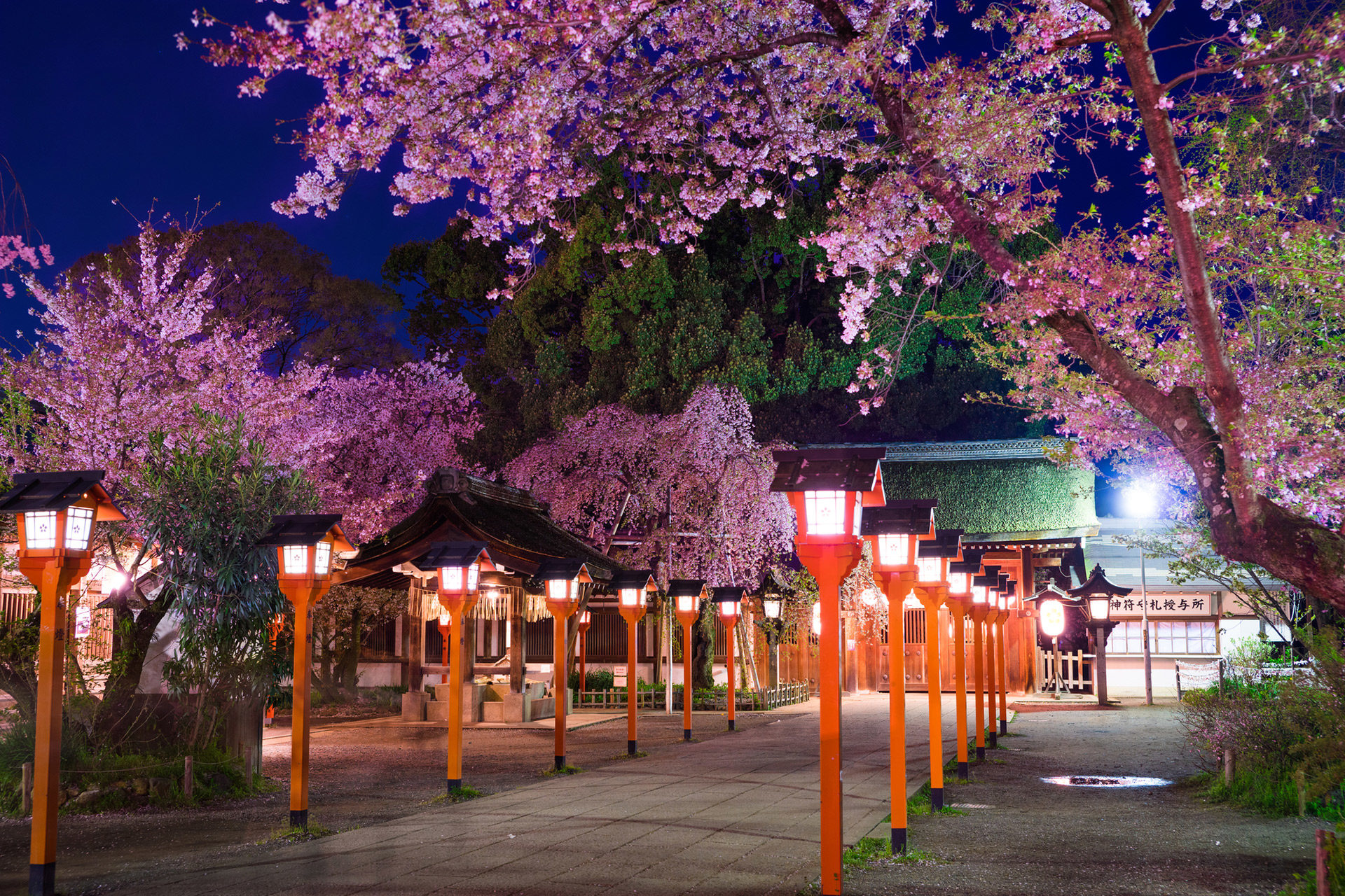 京都  櫻花  平野神社