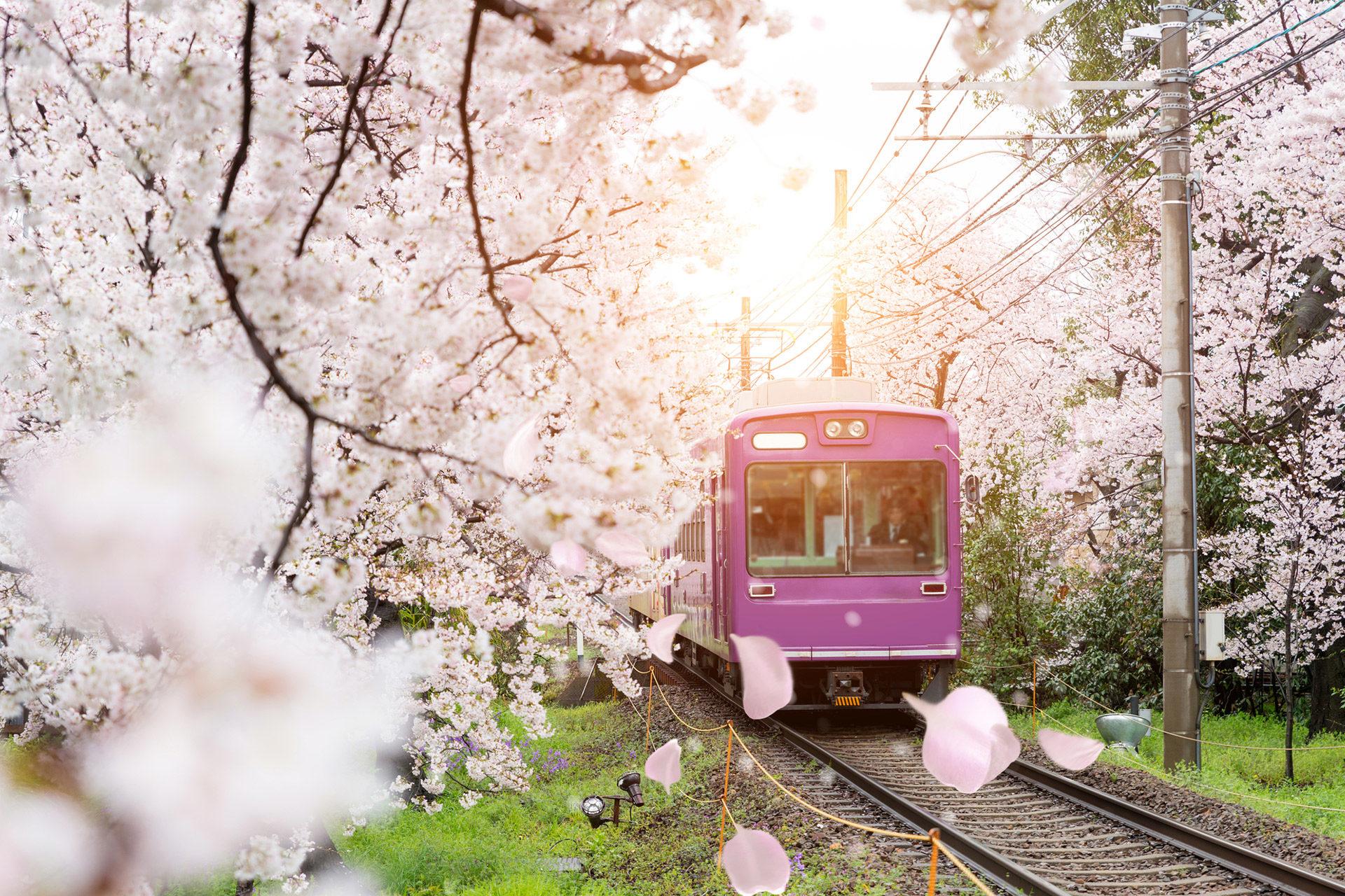 京都  櫻花  觀光