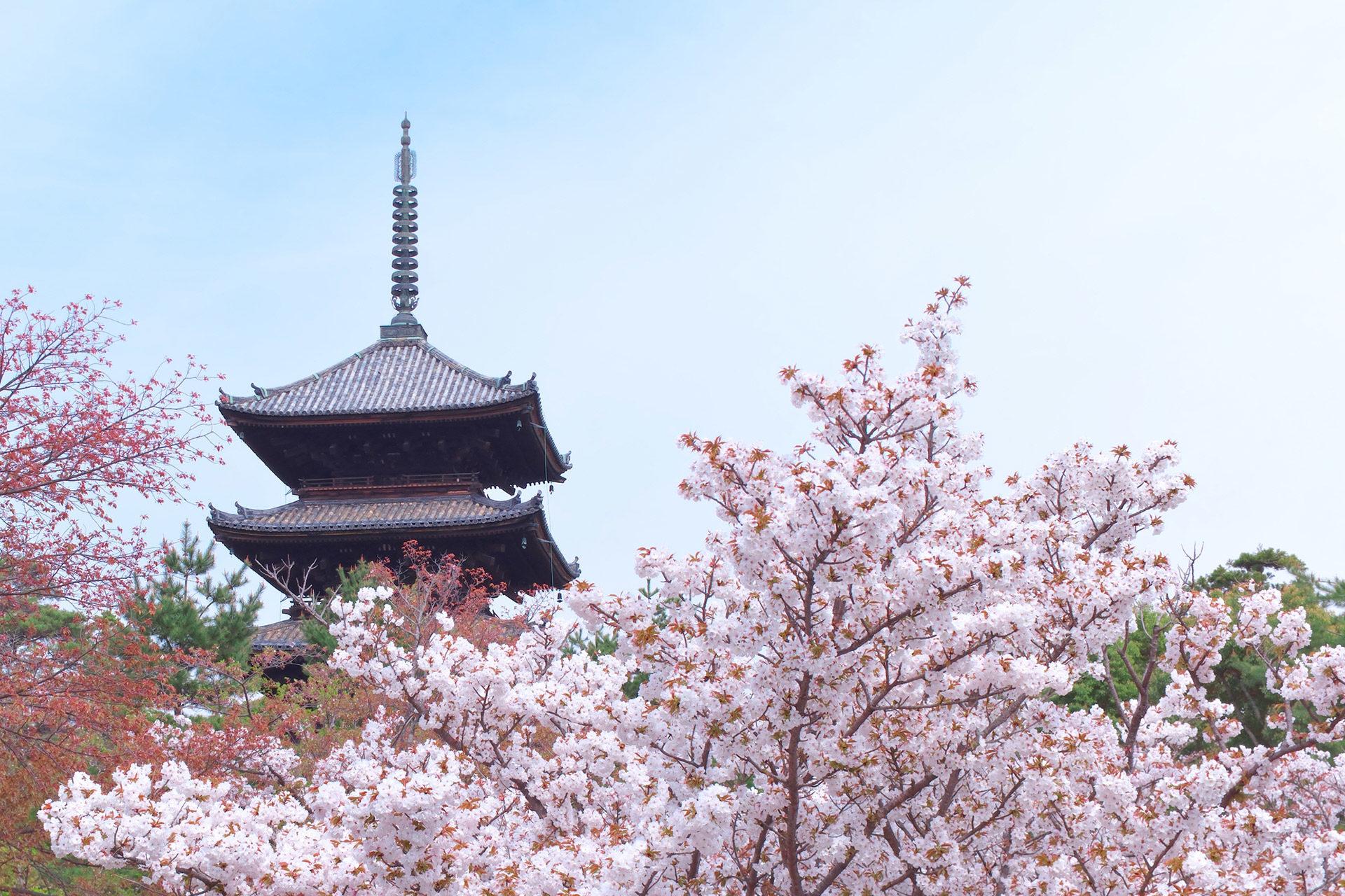 京都  櫻花  晚開