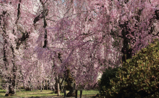 春天的京都有很多活動!