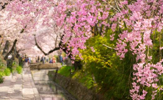 春天的京都充滿魅力!