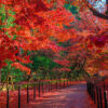 如果是京都的楓葉的話,推薦在廣告中被提及的光明寺!