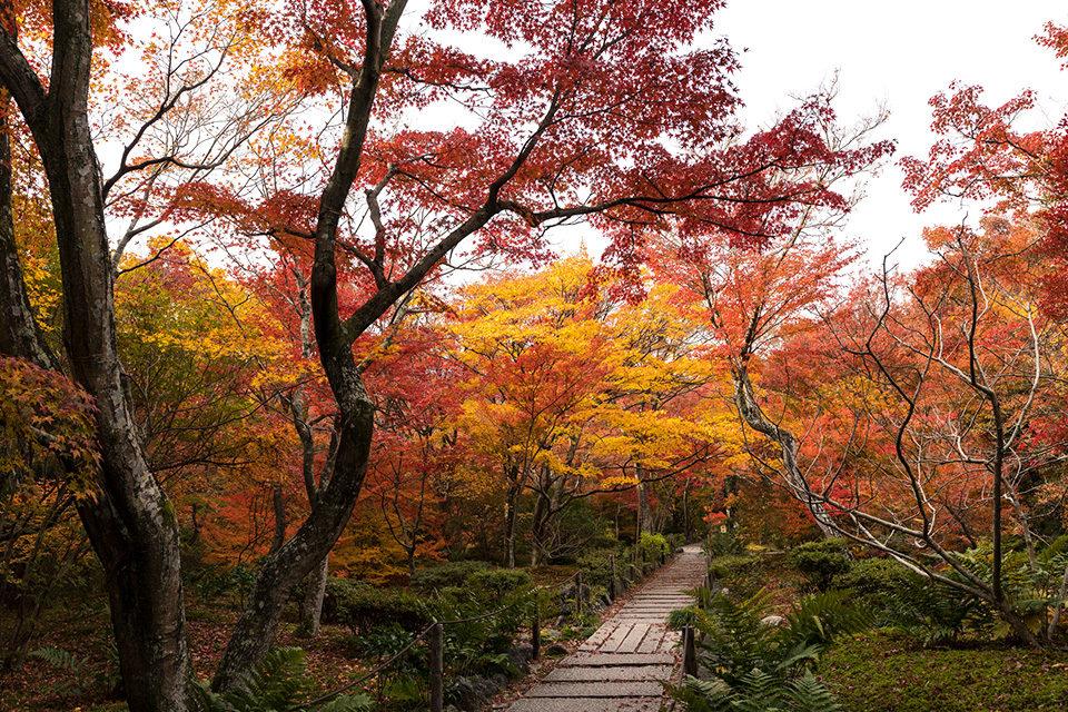 在日本人看來也是美麗的京都楓葉