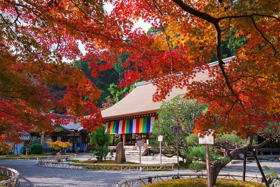 京都嵯峨野中最美的寶嚴院的楓葉是?
