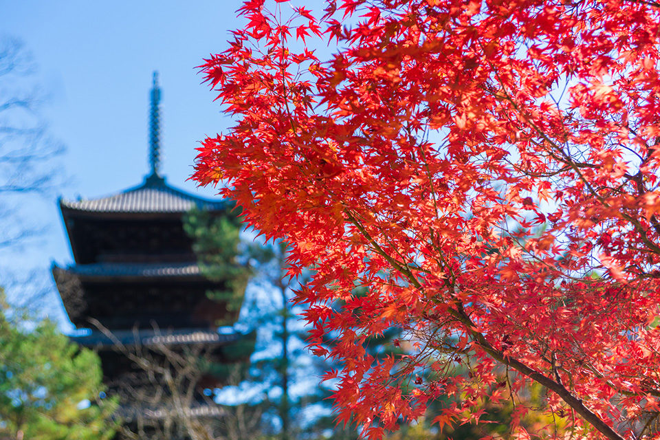 京都楓葉季節的混亂預測