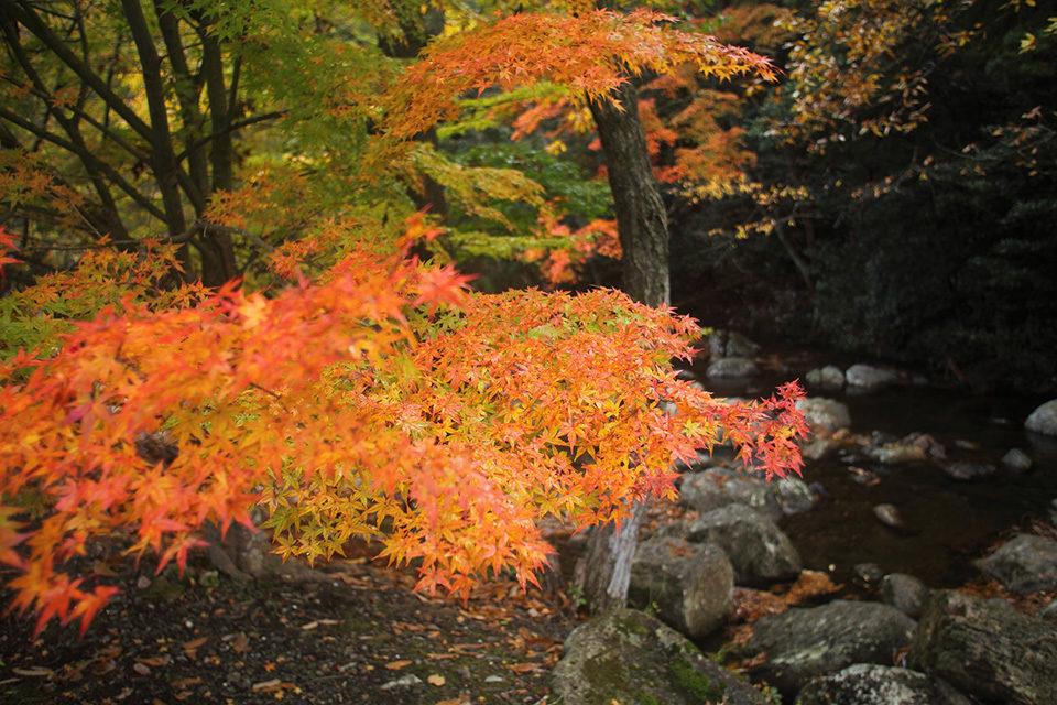 在京都南丹市賞楓葉