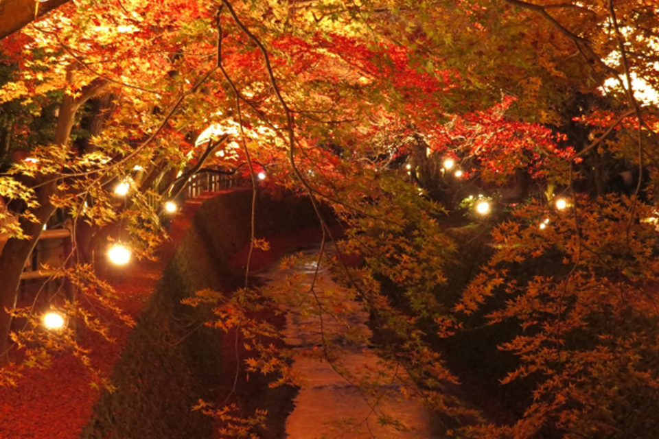 享受古都京都的楓葉和聖誕燈飾