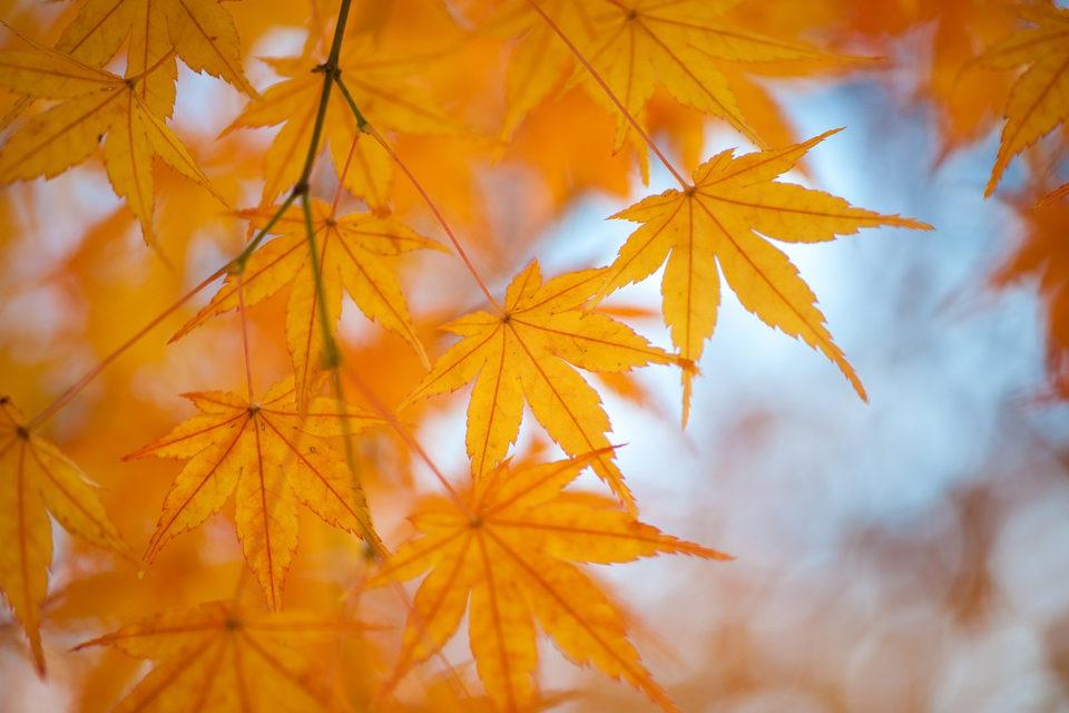 嵯峨野鮮為人知的楓葉景點!