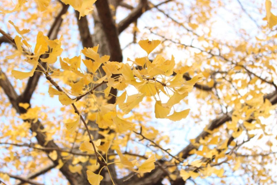 京都的楓葉美麗有理由嗎?!