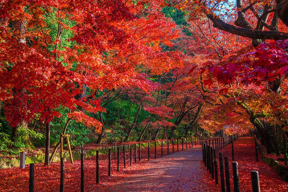 介紹在長岡京市能享受的楓葉的名勝!