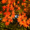 京都的楓葉這裡是好地方!