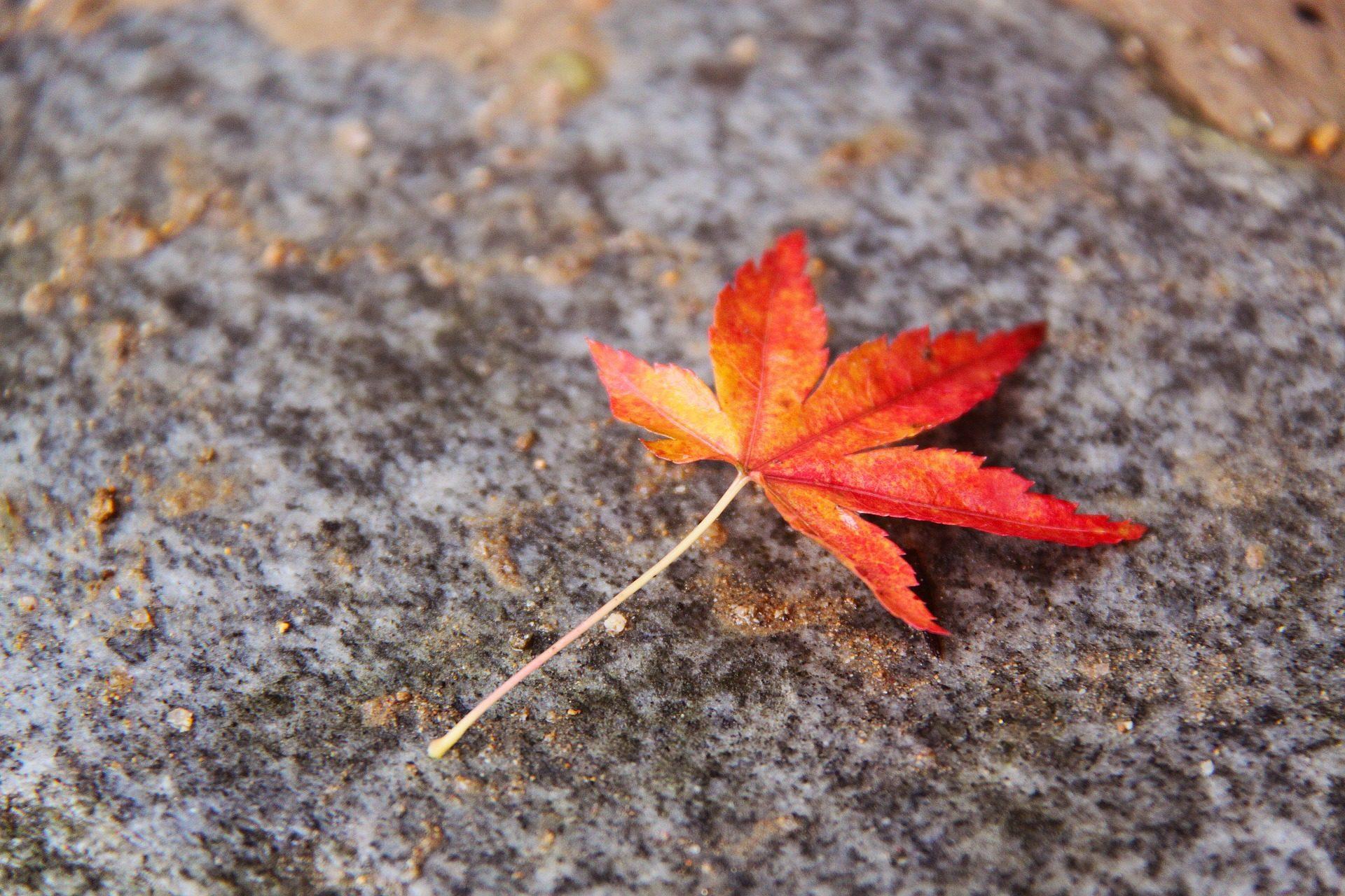 京都的楓葉觀賞時期是什麼時候?