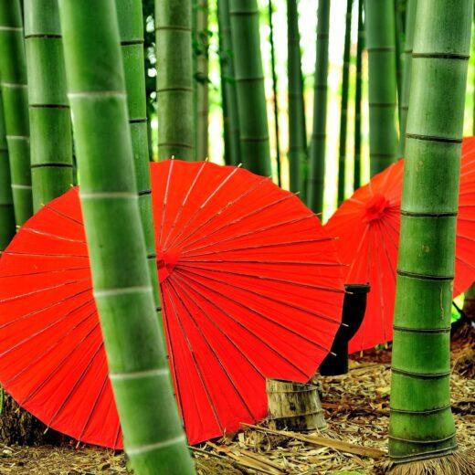 嵯峨野的竹林