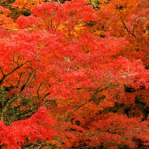 京都的楓葉