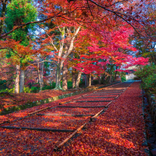京都的山科的楓葉